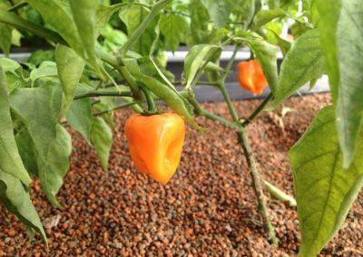 Habenero-Pepper